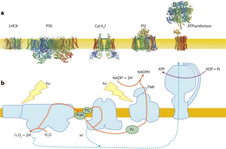 Transmembrane organisation of the major photosynthetic proteins in their native oligomerization state and Schematic representation of the pathway